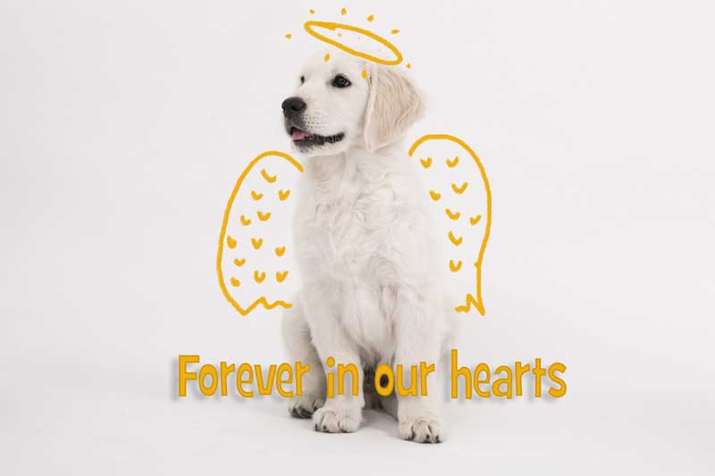 White Labrador with angel wings